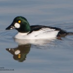 Goldeneye - Thomas Harris Wildlife Photography